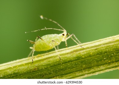 Aphid at 3X lifesize magnification
