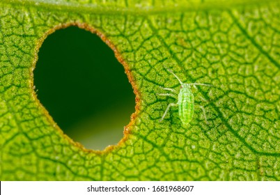 Aphid close up on a green leaf. Crop harvests, insecticidal treatment. Damaged plant leaves, devouring. Copy space