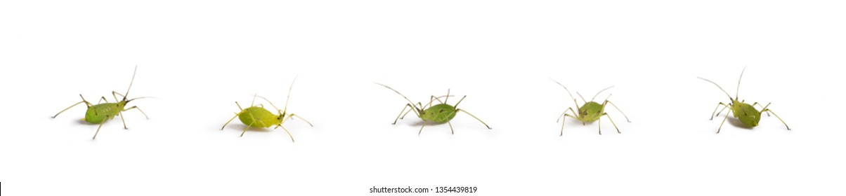 aphid insect isolated