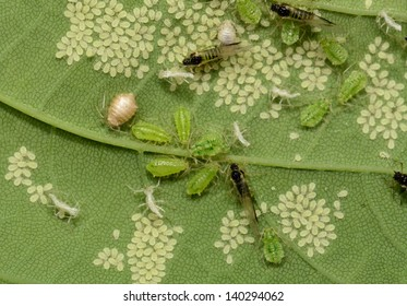 aphid meeting