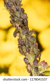 Aphids are like a parasite on a plant