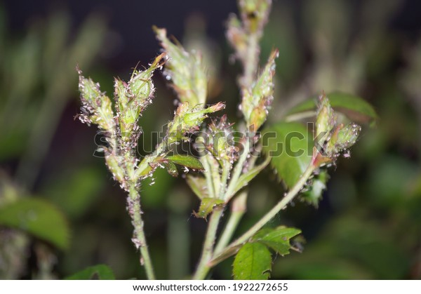 aphids-on-branches-buds-roses-600w-19222