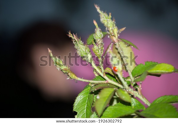 aphids-on-branches-buds-roses-600w-19263