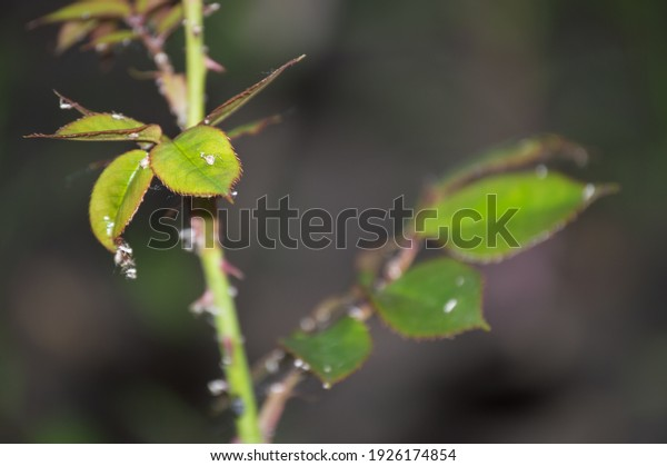 aphids-on-branches-roses-garden-600w-192