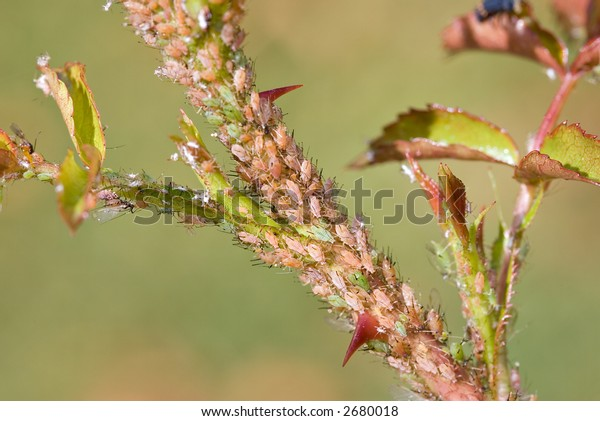 aphids on rose branch