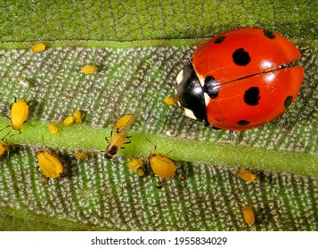 Aphids (plant lice, greenfly, blackfly or whitefly) and their natural enemy, seven-spot ladybird (ladybug) Coccinella septempunctata (Coleoptera: Coccinellidae)