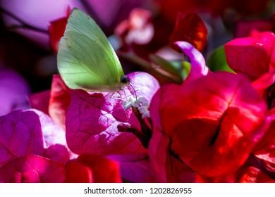 Sưu tập Bộ cánh vảy 3 - Page 17 Aphrissa-fluminensis-statira-butterfly-260nw-1202826955