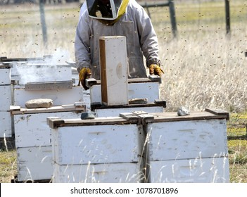 Apiarist checks the condition of frames while a bee smoker calms the hive behind him.