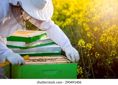 The apiarist with full equipment checking the hives on the blossoming rapeseed field. Selective focus, lens flare, copy space