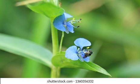 apis florea on floer petal.