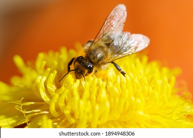 Apis mellifera carnica collecting pollen and honey