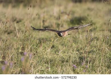 Aplomado Falcon Canadian Raptor Conservancy, Vittoria, Ontario, Canada