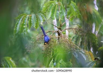 Apo myna (Basilornis mirandus) in Mt.Kitanglad,Mindanao,Philippines