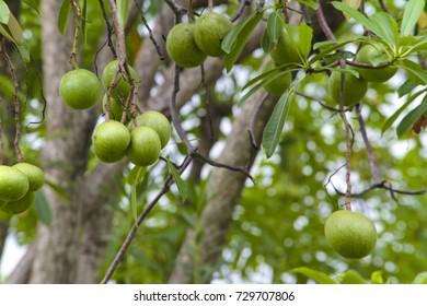 apocynaceae Alstonia scholaris or apocynaceae tree