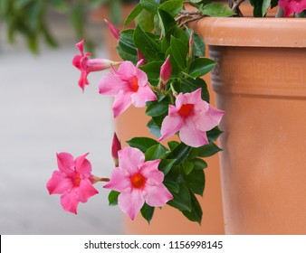 apocynaceae mandevilla sanderi grade rosea, beautiful pink flowers form of bells with an orange core, five flowers full bloom fall to the ground with brown pot in garden,the background gray asphalt