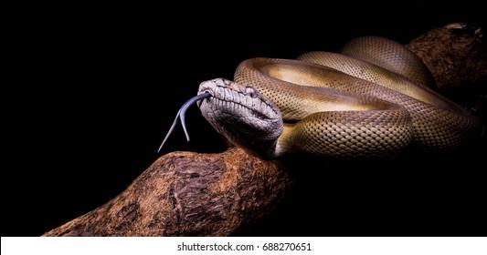 Apodora Papuana, papuana python