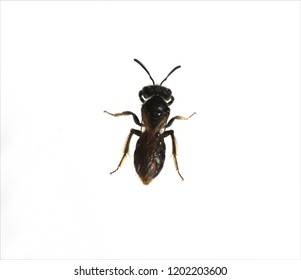 Apoidea, Hymenoptera, insect