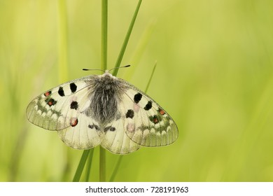 Apollo butterfly resting in the grass with open wings