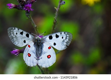The Apollo or mountain Apollo (Parnassius apollo), is a butterfly of the family Papilionidae. Adult Apollo butterfly feeding on nectar produced by flowers. Low Tatras, Slovakia.