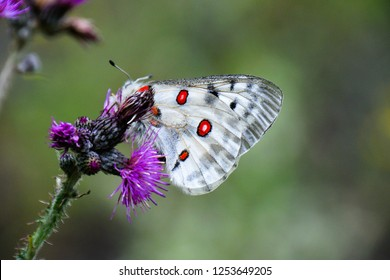 The Apollo or mountain Apollo (Parnassius apollo), is a butterfly of the family Papilionidae. Adult Apollo butterfly feeding on nectar produced by flowers. Low Tatras national park, Slovakia.