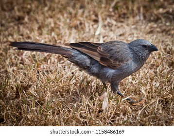 Apostlebird often travels in groups of 12. (Struthidea cinerea), also known as the grey jumper, lousy jack or cwa bird. Gray black bird stands on dry grass.