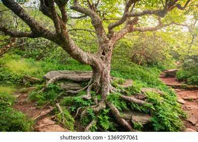 Appalachian Tree of Life, Mountain Hiking Path, North Carolina