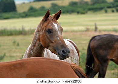 Appaloosa Isolated Images, Stock Photos & Vectors | Shutterstock