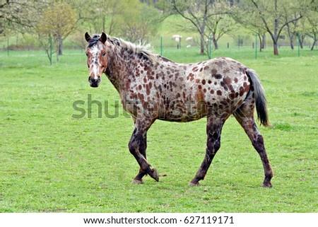 appaloosa horse stock photo edit now 627119171 shutterstock