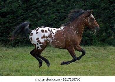 Appaloosa Horse, Adult Galloping through Meadow