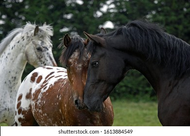 Appaloosa Horse, Adults smelling each other