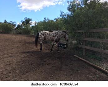 Appaloosa Horse Images, Stock Photos & Vectors | Shutterstock