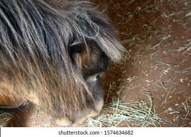 An appaloosa horse eating hay off the floor of a barn