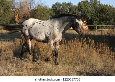 Appaloosa horse in field, brown spotted