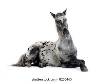 Appaloosa horse in front of a white background
