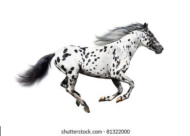 Appaloosa horse on a white background