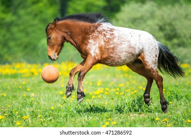 Appaloosa horse playing with a ball on the meadow in summer