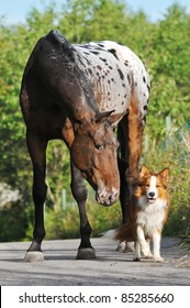 Appaloosa horse portrait in summer with puppy border collie
