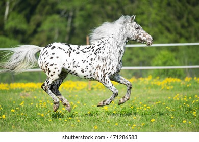 Appaloosa horse runs gallop on the meadow in summer