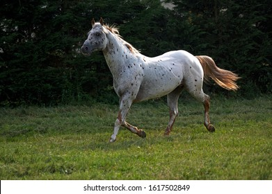 Appaloosa Horse Trotting through Paddock