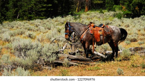 An Appaloosa horse wearing a saddle standing among the brush in the Wyoming landscape