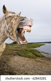 appaloosa horse yawning in comical way.