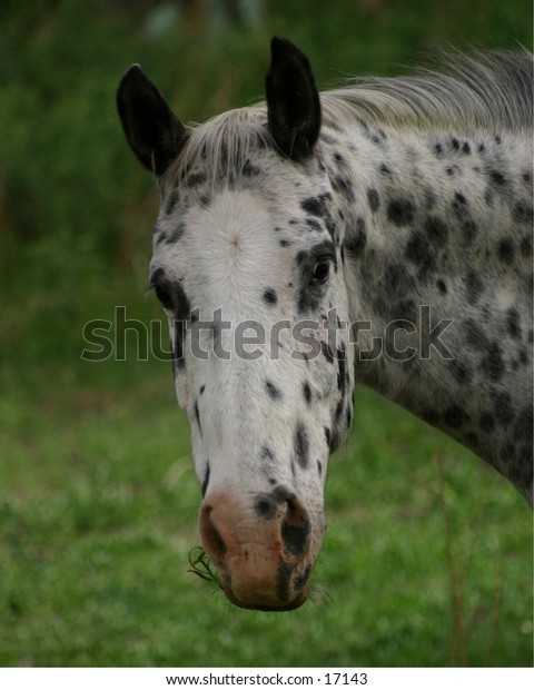 Appaloosa horses are highly prized in the West as pleasure and work horses.  They were developed by the Nez Pierce Indians of the Northern Rockies.