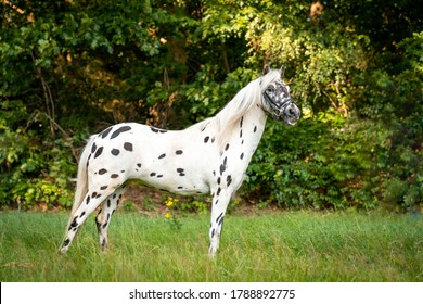 Appaloosa small cute pony gelding