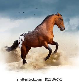 appaloosa wild horse in desert