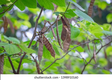 An appearance of long pod, flat, pointed tip, Bauhinia acuminata, It is a shrub with a large white flowers,has a mild scent.