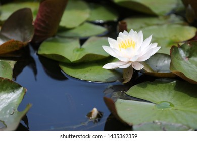 the appearance of lotus flowers blooming in summer ponds.