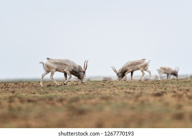 The appearance of a powerful male during the rut. Saiga tatarica is listed in the Red Book, Chyornye Zemli (Black Lands) Nature Reserve, Kalmykia region, Russia.