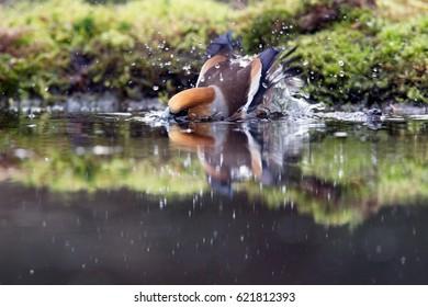 appelvink taking a bath, Netherlands