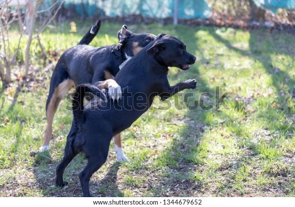 Appenzeller Mountain Dog Plays Labrador Mix Stock Photo