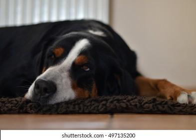 Bernese Mountain Dog Pup Images Stock Photos Vectors